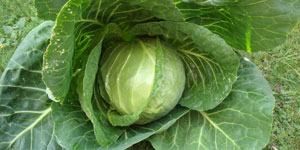 all about cabbage