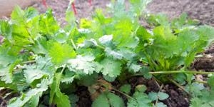 prerequisites to grow cilantro