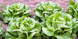 varieties of lettuce