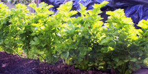best growing conditions for celery