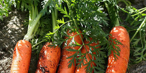 caring for and maintaining your carrots