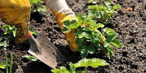 planting the organic garden