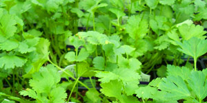 exclusive tips for growing cilantro