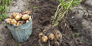 harvesting and storing potatoes