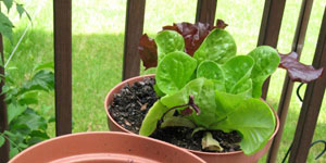 lettuce alternatives to the garden
