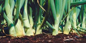 maintaining onions
