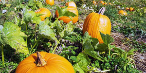growing and maintaining pumpkins