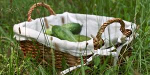harvesting cucumbers