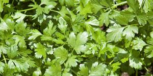 storing cilantro